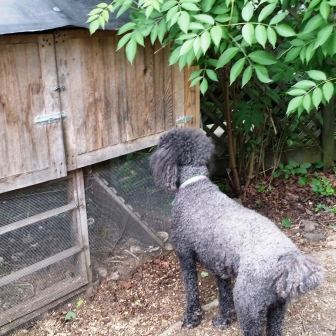 Standard Poodle, Molly, and Chickens